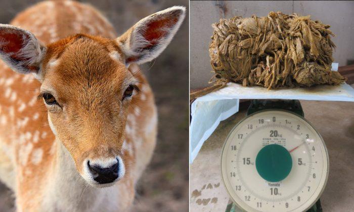 Imagen ilustrativa de un venado. (Mabel Amber / Pixabay) Imagen del plástico que se extrajo del cuerpo del venado hembra de 17 años que murió en el Parque Nara en Japón el 24 de marzo. (Asociación del Bienestar para los Ciervos de Nara)