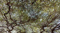 Antiguo árbol se derrumba y un esqueleto de 1000 años queda colgando de sus raíces