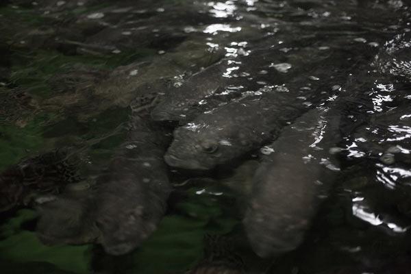 Mero gigante sube a la superficie durante el tiempo de alimentación en las instalaciones de Aquaculture Technology Asia en Hong Kong. (Crédito de la foto: Dominic Bracco II)
