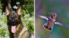 """Colibrí rescatado por un perro se convierte en su mejor amigo y se """"muda"""" con él en agradecimiento"""