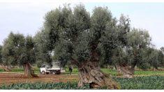 Agricultor griego descubre una tumba de 3,400 años de antigüedad ¡justo debajo de un árbol de olivo!