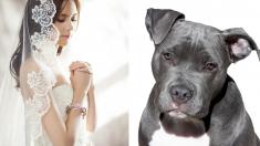 Novia compra un vestido especial para que su pitbull pueda ser la dama de honor en su boda