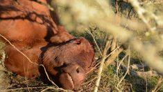 """Otro ataque del """"chupacabras"""" revive el misterio de las vacas mutiladas en el campo argentino"""