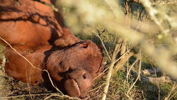Imagen ilustrativa de una vaca mutilada en un caso ocurrido en la provincia de Santa Fe, Argentina. (Foto: Cortesía de Hernan Agustini)