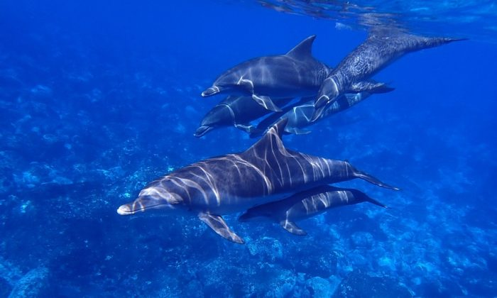 Imagen ilustrativa de delfines. (AJRPROJ/Pixabay)