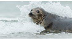 Una astuta foca surfea frente a la costa australiana, ¡pero mira quién le da un paseo gratis!