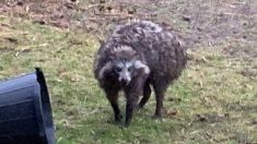 Atrapan a dos perros mapaches que aterrorizaron a una aldea inglesa