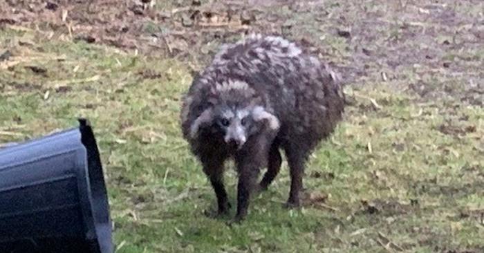 Se les aconsejó a los residentes que estuvieran alertas, luego que dos perros mapaches escaparan en Clarborough, Inglaterra, el 29 de mayo de 2019. (Policía de Nottinghamshire)