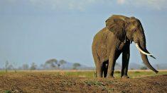 Elefante que recibe disparo en la cabeza se acerca al auto de los veterinarios para que lo salven