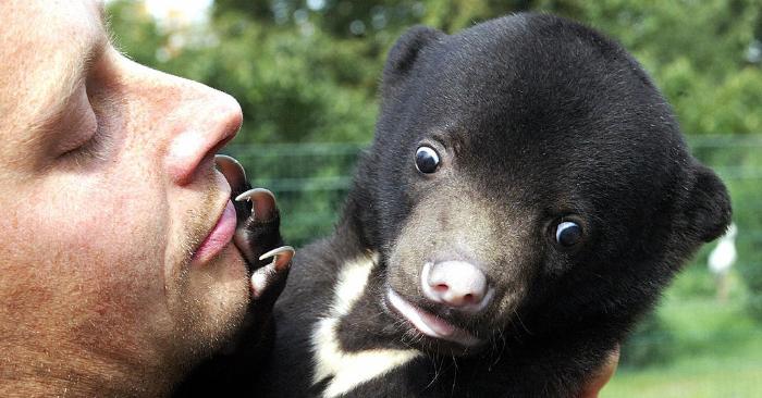 Foto ilustrativa de un oso solar. Estos osos pueden llegar a pesar hasta 60 kilogramos y viven en las selvas tropicales del sudeste asiático. MICHAEL URBAN/AFP/Getty Images.