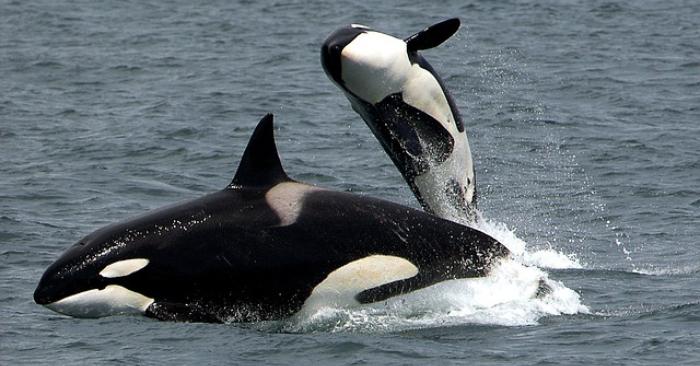 """Canadá aprueba ley """"Free Willy"""" que prohíbe tener en cautiverio a ballenas y delfines"""