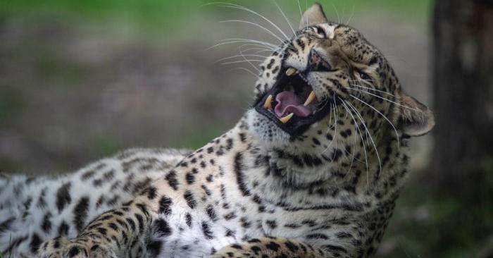 Un leopardo mata al hijo de dos años de un empleado del Parque Nacional de Kruger