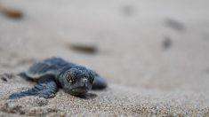 Arrestan a una mujer china pinchando y pisando huevos de tortugas protegidas en playas de Miami