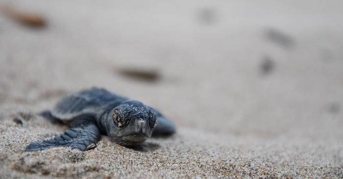 Foto de una cría de tortuga marina que se dirige al mar. YANN COATSALIOU/AFP/Getty Images.