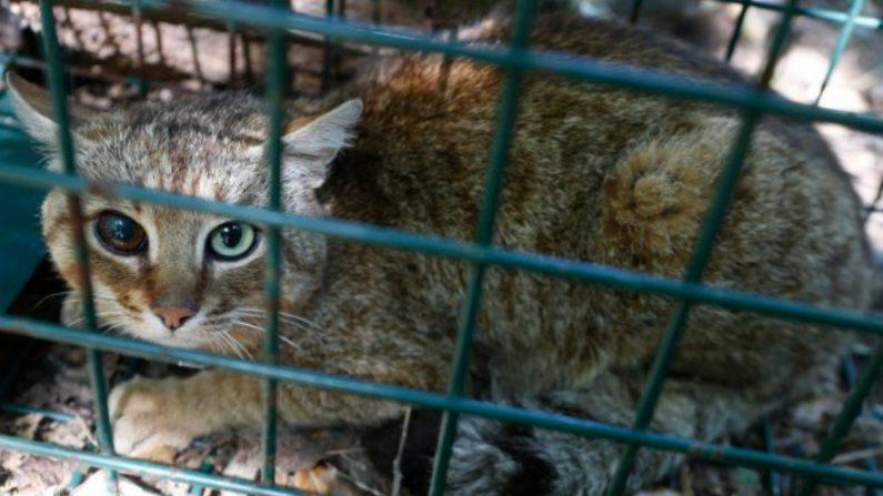 """Un """"ghjattu-volpe"""", o gato-zorro, en Asco, en la isla francesa de Córcega, el 12 de junio de 2019. (Crédito: Pascal Pochard-Casabianca/AFP/Getty Images)"""
