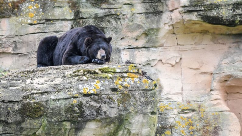 Un oso negro americano descansa. Imagen de archivo. (LOIC VENANCE / AFP / Getty Images)