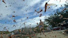 """""""Estamos caminando sobre alfombras de langosta"""": plaga de langostas destruye cultivos en Italia"""