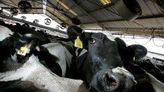 Granja perfora el estómago de sus vacas vivas para manipular su interior (Video)