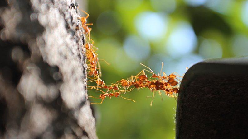 Hormigas. (Wikimedia)