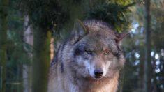 Descubren cabeza cortada de un gran lobo prehistórico hace 40.000 años en Siberia