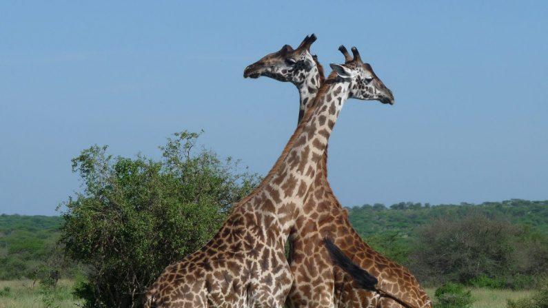 Jirafas en el Serengeti. (Barbara Angelakis)