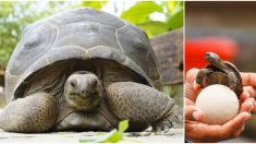 Tortuga gigante de Galápagos da a luz 9 diminutos bebés en el zoológico de Zurich