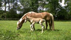 Criadora de caballos ayuda en el parto de hermoso potro, pero sin darse cuenta, inicia otro parto