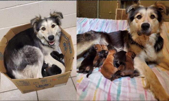 Una mezcla border collie/husky llamada Casey, junto con sus nueve cachorros, fue encontrada en una caja sellada en un vertedero de la Columbia Británica, Canadá, el 5 de junio de 2019. (BC SPCA)