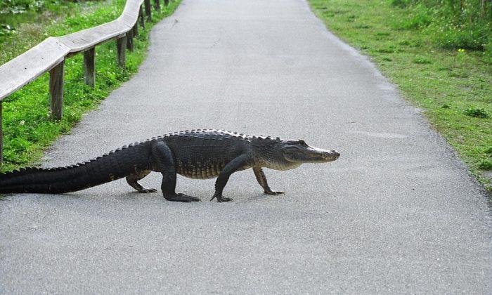 Imagen ilustrativa de un caimán. (Skeeze/Pixabay)