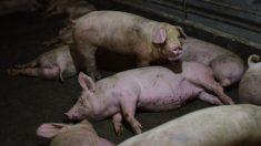 Peste porcina africana hace que los precios de la carne de cerdo se disparen en China