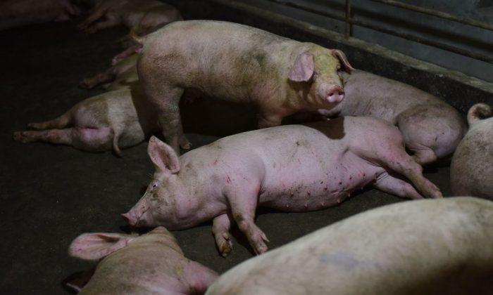 Cerdos descansan en un corral en una granja de cerdos en el condado de Yiyang, en la provincia central de Henan, China, el 10 de agosto de 2018. (Greg Baker/AFP/Getty Images)