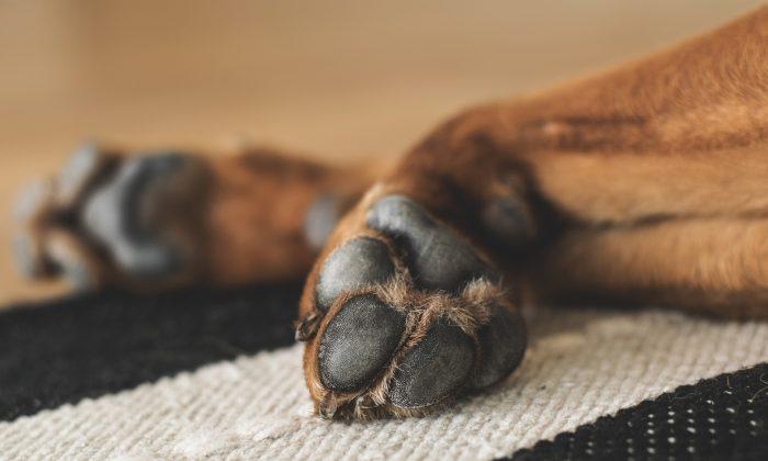Foto ilustrativa de las almohadillas de un perro. (Pixabay)