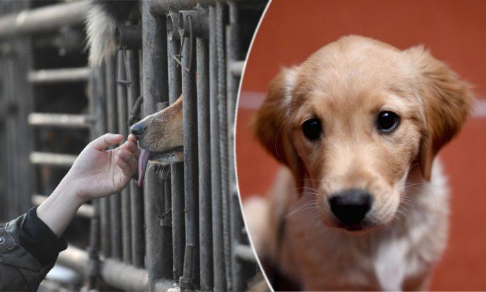 Un amante de los perros consuela a un perro encerrado en un camión. (STR/AFP/Getty Images) | (Derecha) Un cachorro  golden retriever. (Jamie McCarthy/Getty Images)