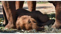 """Video muestra elefantes """"llorando"""" en una conmovedora procesión fúnebre para una cría de la manada"""