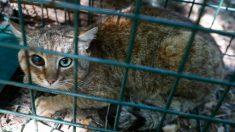 """""""Gato-Zorro"""": la extraordinaria criatura que podría ser una nueva especie de felino"""