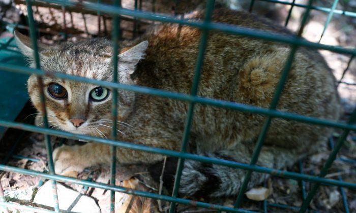 """Fotografía de un """"gato-zorro"""" en Asco, en la isla francesa de Córcega, el 12 de junio de 2019. (Pascal Pochard-Casabianca/AFP/Getty Images)"""