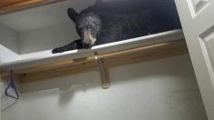 Oso negro se mete en un hogar de Montana y al no poder salir decide dormir la siesta en un armario