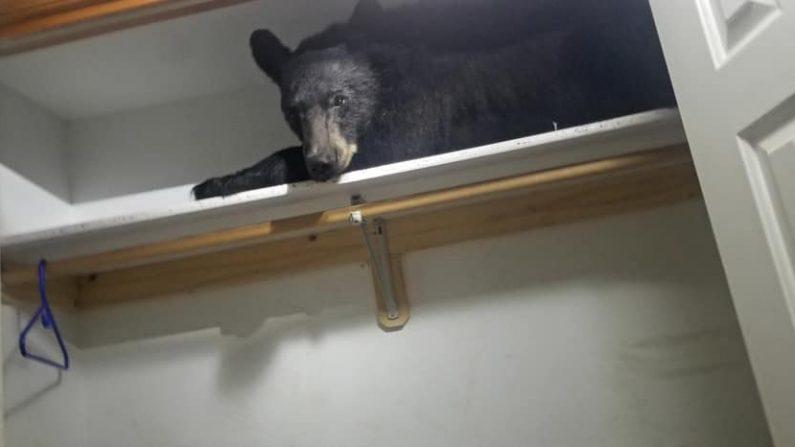 """Cuando los oficiales llamaron a la ventana, el oso no se impresionó lo más mínimo. Se estiró lentamente y bostezó"""". (Imagen de la Oficina del Sheriff del Condado de Missoula el 21 de junio )"""