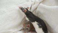 """Niña queda """"al borde de la muerte"""" al contraer una enfermedad transmitida por sus ratas mascota"""