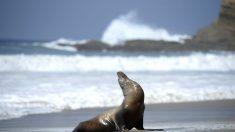 León marino aparece entre las olas de una playa y muerde a una adolescente en el muslo