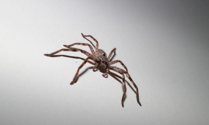 Foto ilustrativa de una araña cazadora. (j8acob/Pixabay)