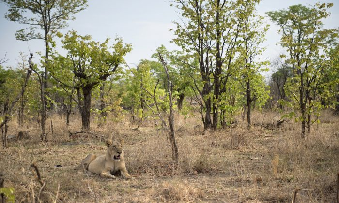 Una leona en el Parque Nacional Hwange en Zimbabwe en una foto de archivo. (Martin Bureau/AFP/Getty Images)