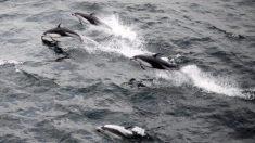 Video viral: filman una estampida de delfines y ballenas en la costa de California