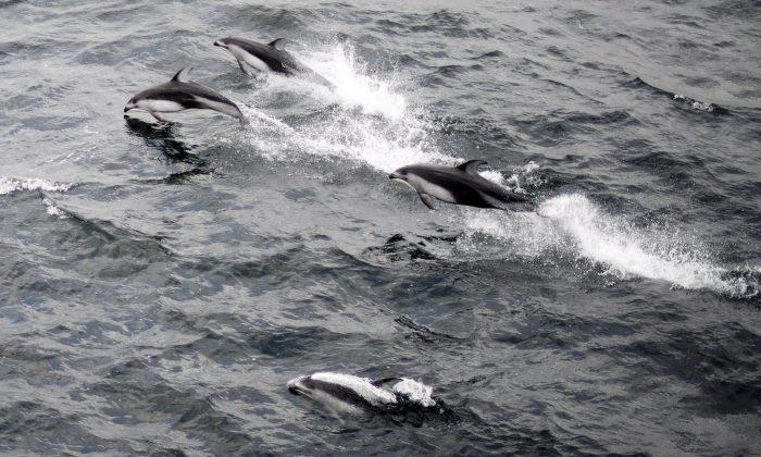 Delfines del Pacífico de lados blancos son vistos nadando en las afueras del Puerto Nanaimo en la Isla de Vancouver, B.C. el 26 de octubre de 2013. (The Canadian Press/Jonathan Hayward)