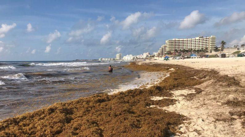 Vista general de un nuevo recale masivo de sargazo en zona hotelera de Cancún, en el estado de Quintana Roo (México). EFE/Lourdes Cruz