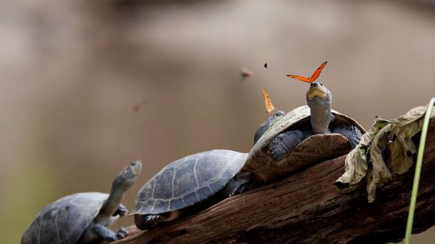 Mariposas beben lágrimas de tortuga, salado néctar de supervivencia en el Amazonas de Perú