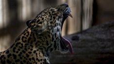 China: principal destino del tráfico ilegal del jaguar de Latinoamérica