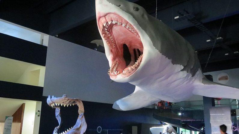 Imagen ilustrativa de la reconstrucción de un tiburón Megalodon. (Wikimedia Commons)