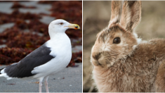 VIDEO: Gaviota devora a un conejito en cuestión de segundos