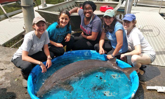 Investigadores de la Estación Biológica de Campo de la Universidad de Cornell con un esturión de 65 kilos capturado en el Lago Oneida, N.Y., el 19 de junio de 2019. (Cortesía de la Estación Biológica de la Universidad de Cornell)
